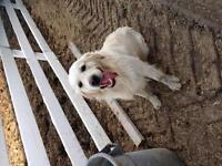 Gorgeous and affectionate English golden retriever.