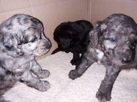 Cockerpoo Puppy Dogs