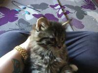 Fluffy Kitten for sales