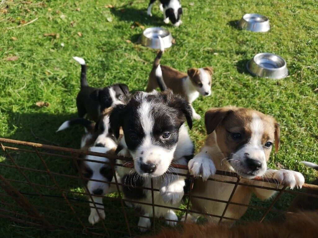 Collie X Puppies for sale | in Armagh, County Armagh | Gumtree