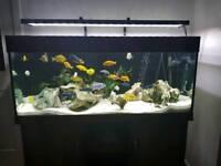 Malawi Cichid Aquarium