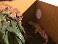 Adult Leopard Gecko (female) + small terrarium, and heating matt