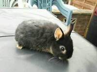 RABBIT NETHERLAND DWARF - BUCK - BOY - 9 WEEK OLD