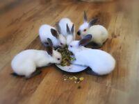 Pedigree Himalayan Rabbits