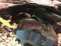 Pleco, loaches, tetras, mollies, flying foxes (can purchase some or all)