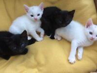4 playful kittens 2 black , 2 white