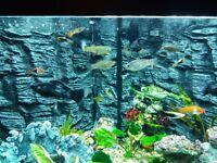 Tropical Fish Tetra, Mollies, guppies