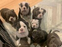 Bulldogs 8 weeks old