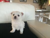 Maltese Female Puppies in Dundee