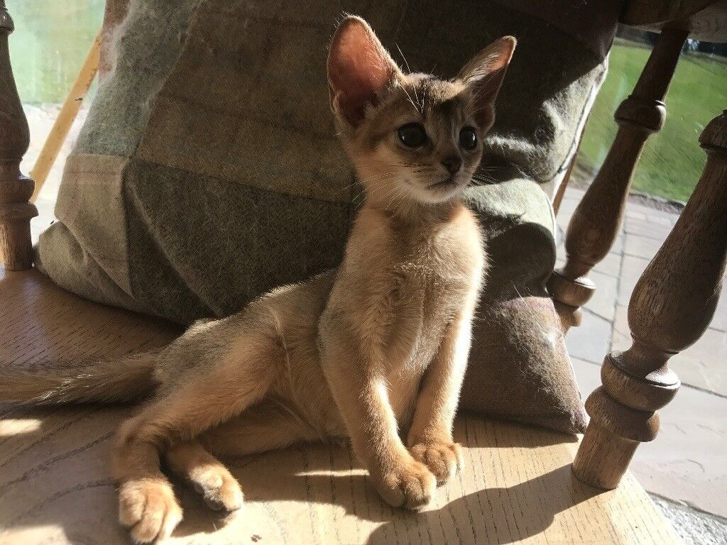 Abyssinian kittens in Alford Aberdeenshire