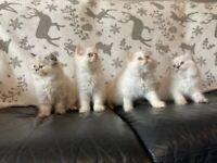 READY NOW SOO AFFECTIONATE, PEDIGRE PERSIAN KITTENS (2 GIRLS, 2 BOYS) BECKENHAM,KENT.
