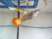 6 male gupies