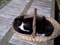 MISSING BLACK AND WHITE CAT - Colinton, Edinburgh