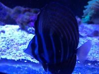"Marine sailfin tang medium 5"" salter water tropical fish aquarium"