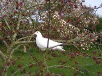 beautiful white doves