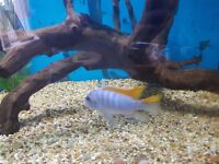 LARGE RED TOP ICE BLUE MALAWI CICHLID