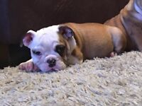 ***Reduced*** One male and one female left! Quality Triple carrier British bulldog puppy's at dD/bB