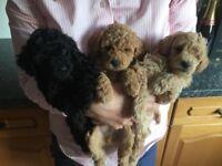 KC Registered Toy Poodles For Sale