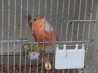 X2 pair pastel bullfinches