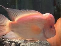 Midas Cichlid for sale