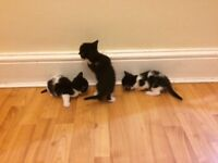 Two male kittens for sale black and white 10 weeks old