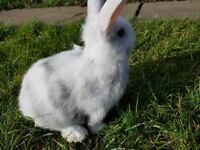 lovely friendly baby bunnies for sale