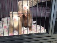Ferret kits (indoor pets)