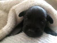 Jackador puppies, raised around autism and adhd children.