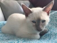 Lilac Point Siamese Cat Male