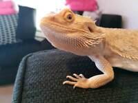Male bearded dragon 'rowlo'