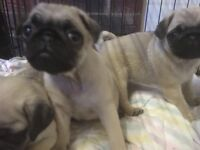 BEAUTIFUL PUG PUPS FOR SALE TWO LEFT