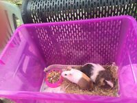 Free female Guinea pig