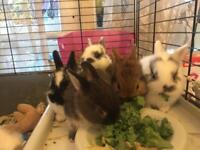 Baby bunnies for sale - dwarf Netherland/ lion head mix - £40 each