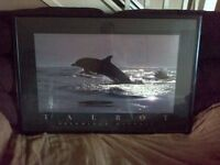 delphinus delphis large framed/glass pick up Dolphin