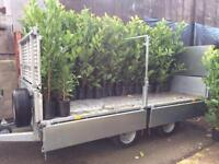 Laurel Hedging 5-6ft £20 delivery and planting service available