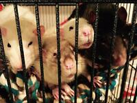 Rehoming 4 Male Rats w/cage