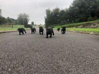 Beautiful Black Labrador Registered Pups