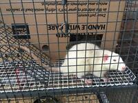 Two rats for sale