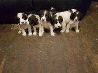 6 english springer spaniel puppies