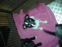 staffy x patterdale puppies for sale
