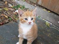 Blue eyed ginger male kitten