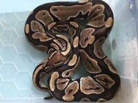 Royal ball python reduced