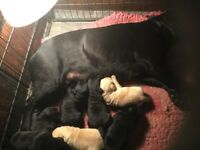 Black Labraador Puppies