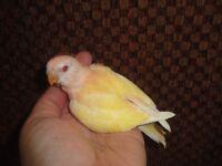 Lutino bourke parakeet