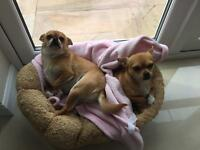 2 x chihuahua age 2 fully microchipped jabs up to date