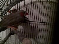 30$ Month old Zebra Finches Pair