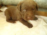 K.C. Registered Chocolate Labrador Bitch Pups