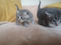 Part pedigree Kittens