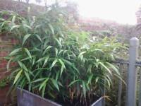 BAMBOO PLANTS Various sizes larger ones unpotted