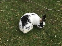 two male rabbit for sale
